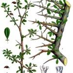 Commiphora_myrrha Kohler Medizinal-Pflanzen-019