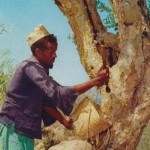 Somali_man_Myrrh_tree