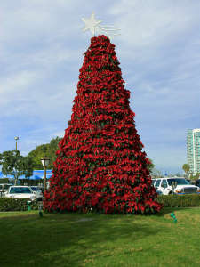 Poinsettia_tree