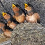 Hirundo_rustica_erythrogaster_-Massachusetts_-chicks-8