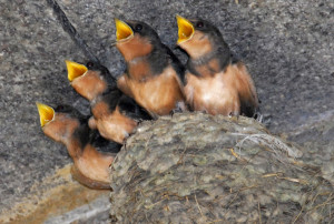Hirundo_rustica_erythrogaster_-Massachusetts_-chicks-8